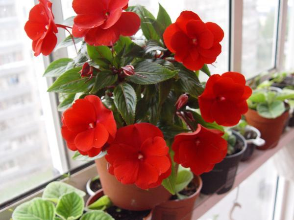 Комнатные цветы с описанием и фото